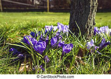 Springtime crocus flowers in a garden