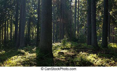 springtime, decíduo, levantar, molhados, bialowieza, amanhecer, floresta