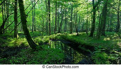 springtime, em, molhados, levantar, de, bialowieza, floresta