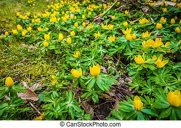 Springtime eranthis flowers in a garden