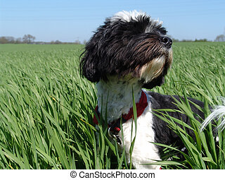 springtime explorer - dog in a fresh wheat field