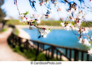 springtime., flores, florecer, cereza, rosa