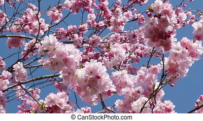 Springtime - Flowering cherry and bees