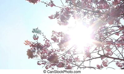 Springtime - Flowering cherry and sunlight