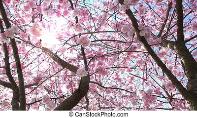 Springtime - Flowering cherry in spring and sunlight