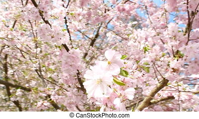 Springtime - flowering cherry in spring