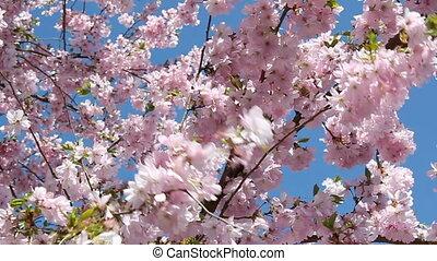flowering cherry in springtime