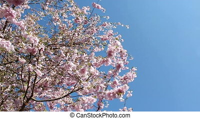 Springtime - flowering cherry in springtime