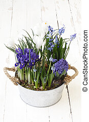 springtime, flowers composition in pot isolated on wooden white blank background