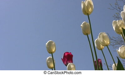 springtime - footage of sunlit white tulips blowing in the...