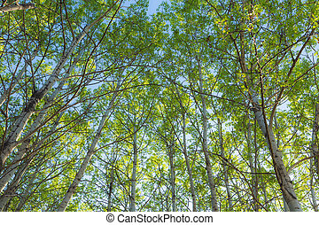 Springtime forest canopy - Looking up into the canopy of a...