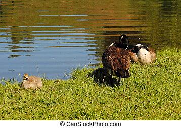 Springtime Geese on the Edge of a Pond