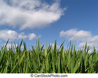 young wheat sprouts in front of a cloudy blue sky