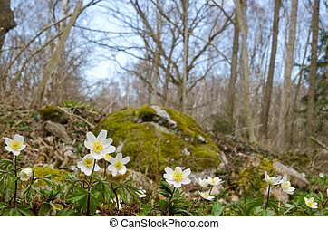Springtime in anemone forest