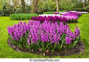 springtime., jacinthes, jardin, paysage