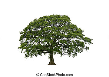 Springtime Oak on White - Oak tree in late spring with new...