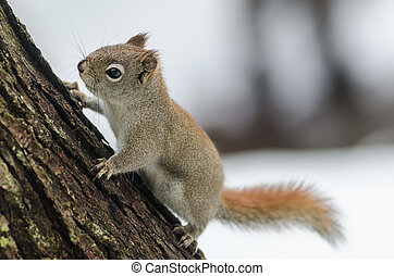 Springtime Red squirrel, full length on a tree.