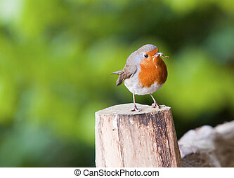 A beautiful Robin displaying it's breeding plumage, captured at sunrise on a spring morning.