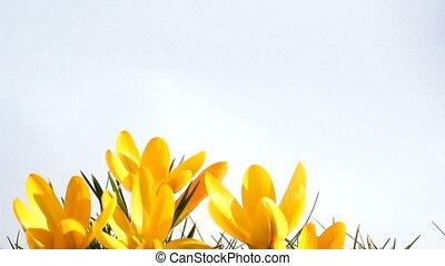 springtime - crocus in springtime