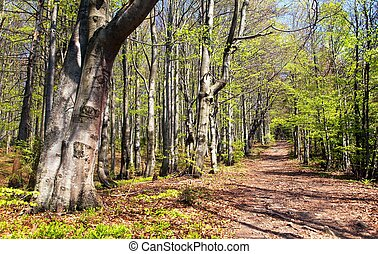 springy view from european beech wood with pathway, ...