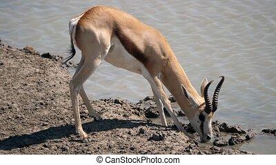Sprinkbok Drinking at Waterhole in Etosha