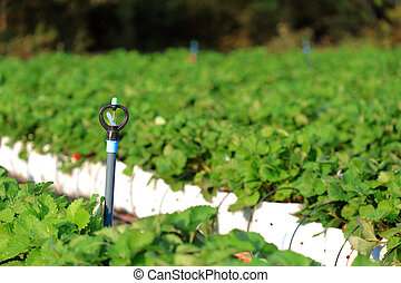 Sprinkle water in strawberry garden. - Sprinkle water in...