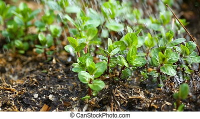 Sprinkled with fresh young mint growing in the ground
