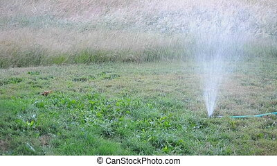 Sprinkler - A sprinkler attached to a hose watering the ...