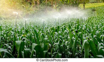 Sprinkler head watering on green corn field