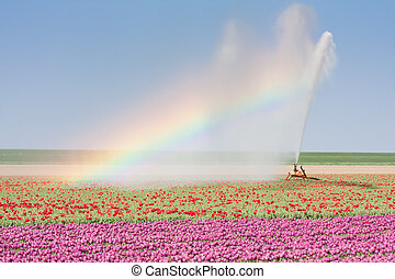 Sprinkler installation in a tulip field with a Rainbow -...