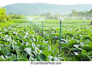 sprinkler irrigation in cauliflower field