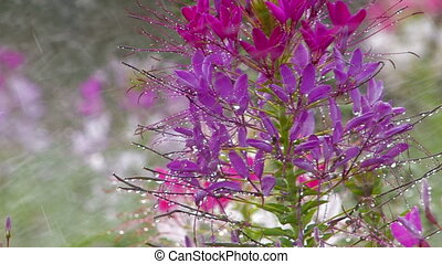 Sprinkling lilac flower