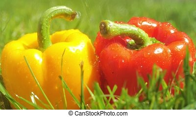 Sprinkling water on red and yellow sweet peppers -...