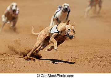 sprinten, windhund