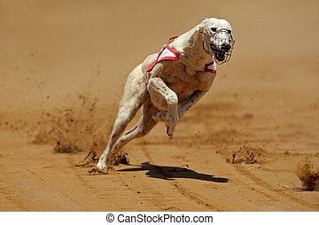 Greyhound at full speed during a race