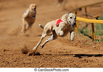 Sprinting greyhound - Greyhound at full speed during a race...