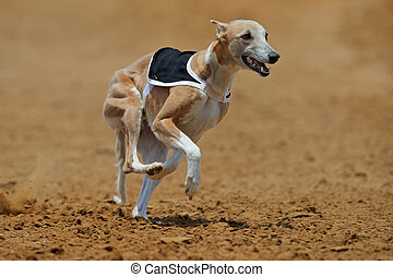 Whippet dog at full speed during a race