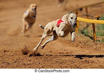 sprinting, windhond
