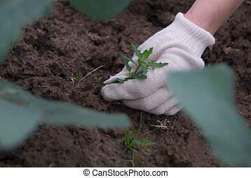 Sprout in hands - Hands in gloves digging up a weed