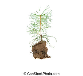 sprout of fir in sand soil on white background