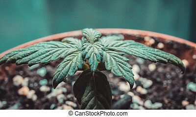 Sprout of medical marijuana plant growing indoor.