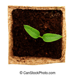 Sprout of pepper