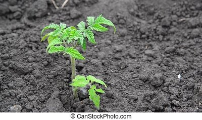 Sprout of young tomato on black earth