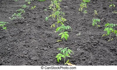 Sprout of young tomato on black earth - Sprout of young...