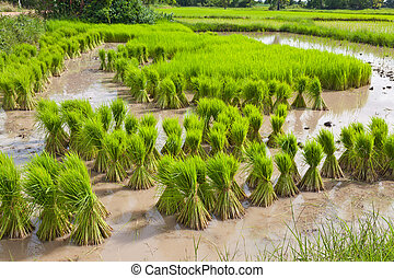 Sprout, Thai Rice field
