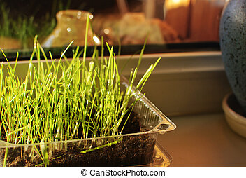 sprouted grass