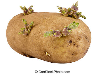 Sprouted Potato - Sprouted brown potato isolated on a white ...