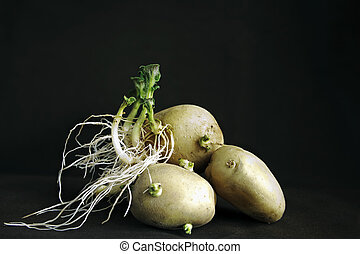 sprouted potato tubers on black