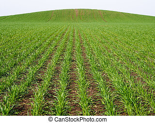 Sprouted wheat on the open ground