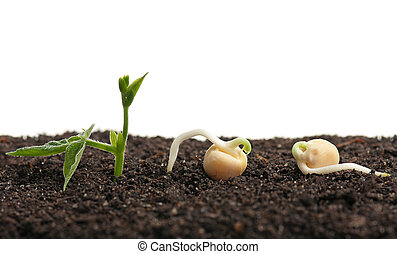 Sprouted yellow peas on organic soil with young plant over ...